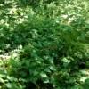 雑草を有効活用②-ドクダミ化粧水を作ってみよう!