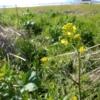 """菜の花とは違う?河川敷に生える""""からし菜""""の花を食べてみた。"""