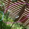 【家庭菜園】キュウリの夏越し。できるだけ長く収穫するには?